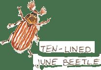 ten lined june beetle