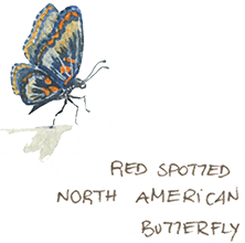 red spotted north american butterfy